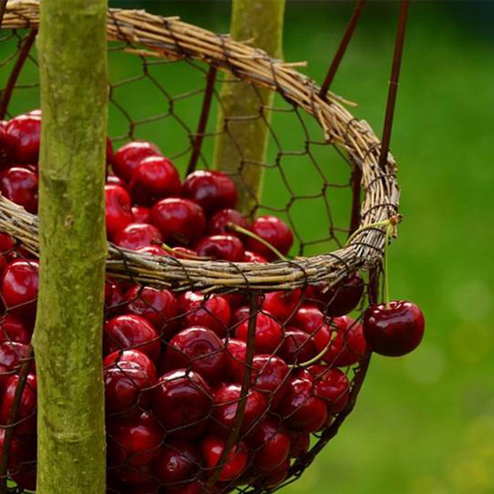 Прецизно обезкостяване на череши, маслини и др. костолкуви плодове с CHERRY ILIVE PITTER